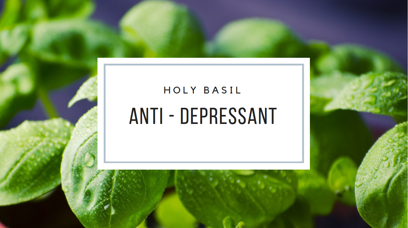 How does holy basil Tea combat stress?